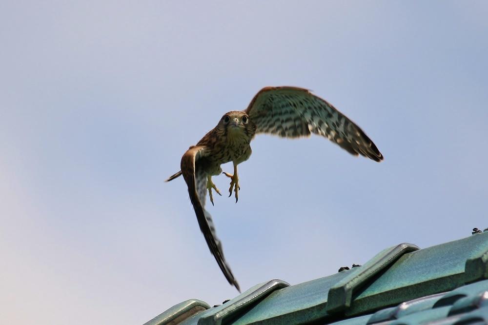 幼鳥は屋根の上、、_f0305401_14561697.jpg