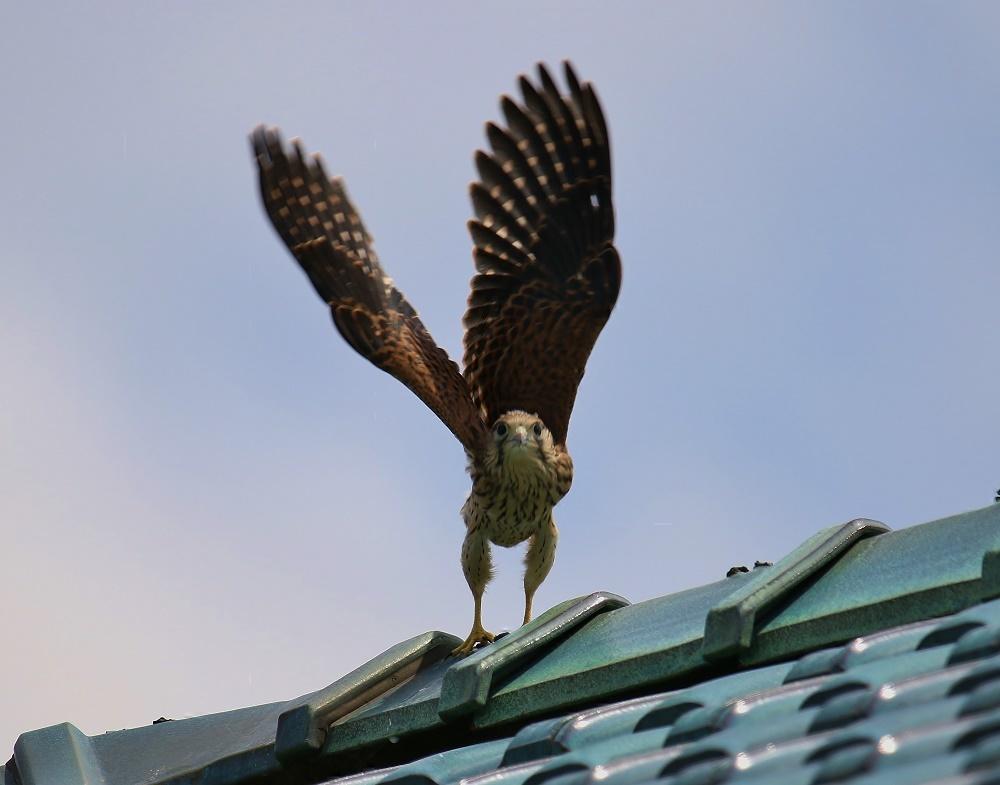 幼鳥は屋根の上、、_f0305401_14562271.jpg