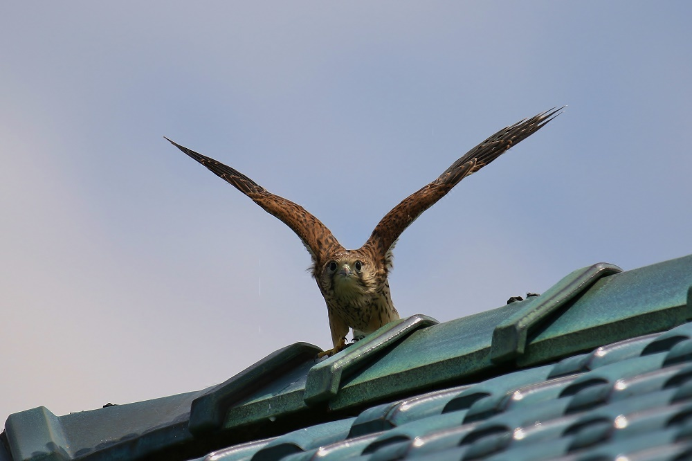 幼鳥は屋根の上、、_f0305401_14562723.jpg
