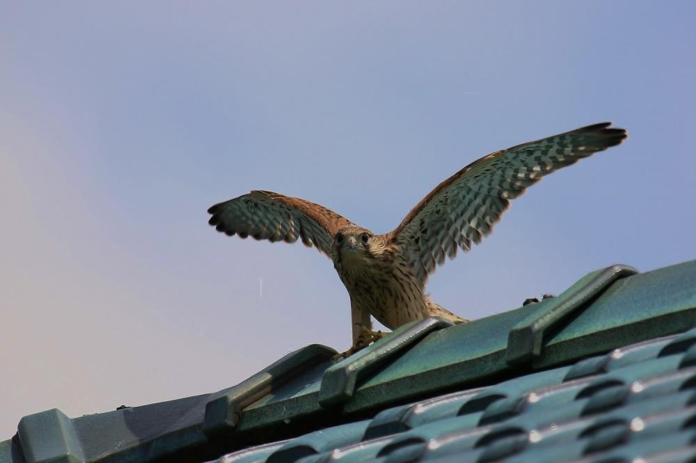 幼鳥は屋根の上、、_f0305401_14563240.jpg