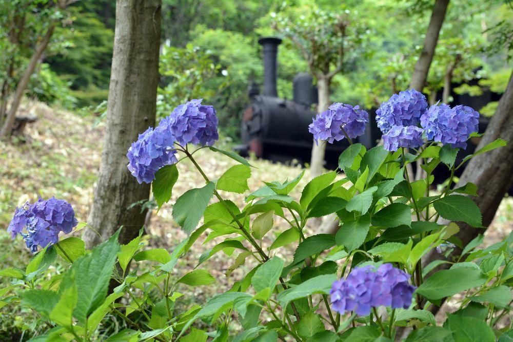 SL12号機関車と紫陽花_e0373930_17495816.jpg