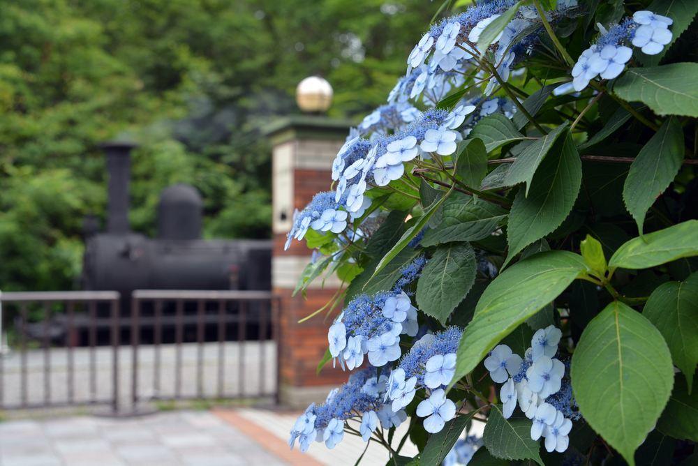 SL12号機関車と紫陽花_e0373930_17495871.jpg