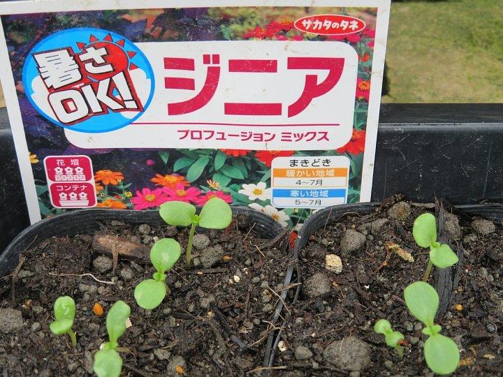 2020年7月9日 ジニア(百日草)の種まき  !(^^)!_b0341140_17401117.jpg