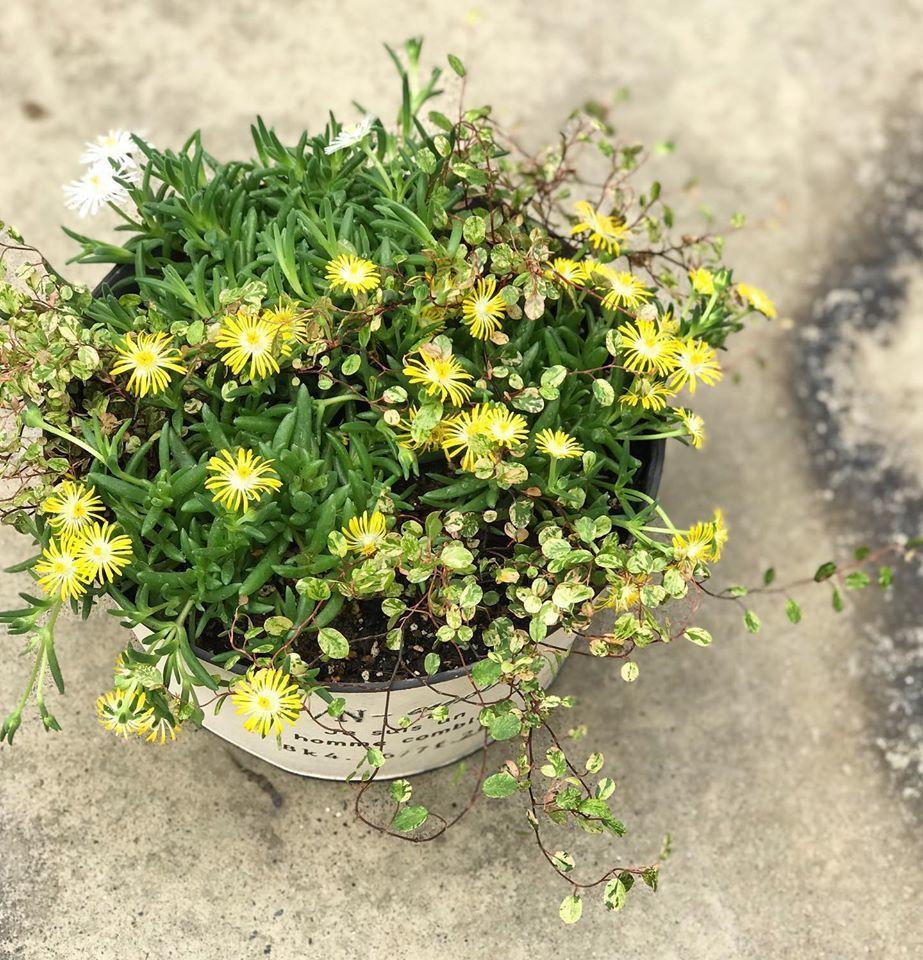 夏の寄せ植え~_f0220152_17013385.jpg