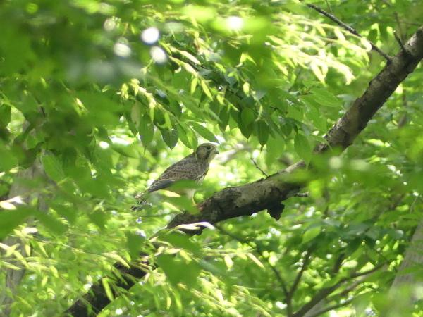 森の中のチョウゲンボウ_a0351368_22442112.jpg