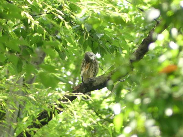 森の中のチョウゲンボウ_a0351368_22443957.jpg