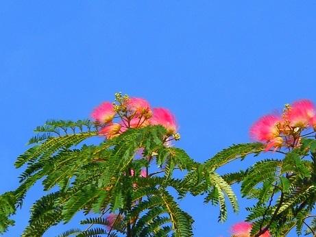 ネムノキに夏の予感_e0175370_21442577.jpg