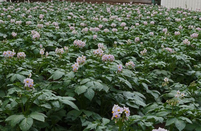 ジャガイモの花_d0162994_08085530.jpg