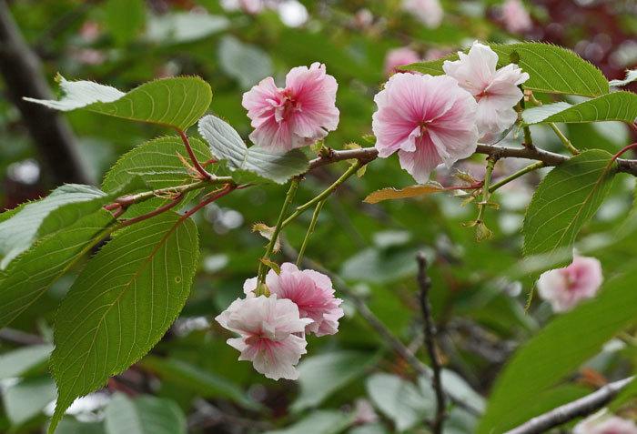 ジャガイモの花_d0162994_08120291.jpg