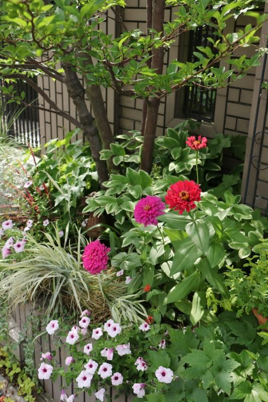 梅雨の晴間に初夏の花~ ジニアとアガパンサス_a0123003_09490777.jpg