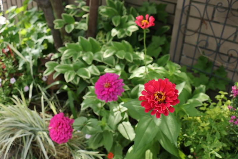 梅雨の晴間に初夏の花~ ジニアとアガパンサス_a0123003_10133416.jpg