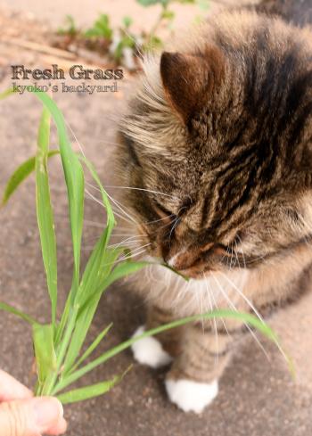 猫的な草の食べ方?_b0253205_09211742.jpg