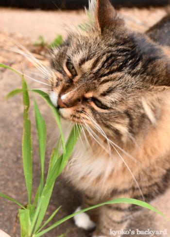 猫的な草の食べ方?_b0253205_09273831.jpg
