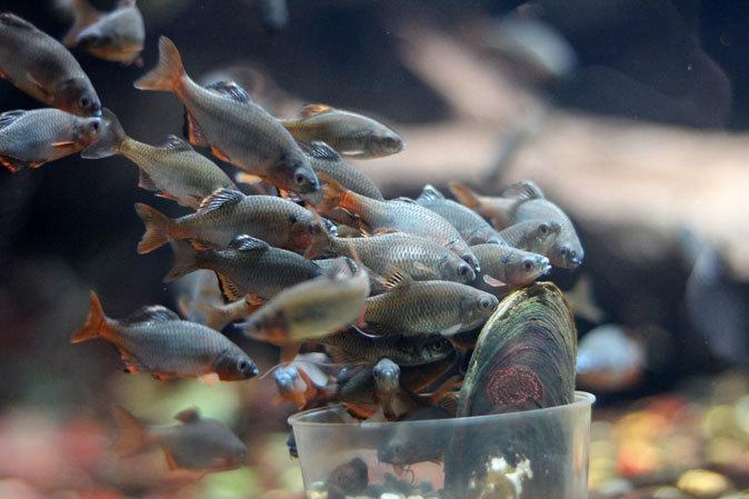 ミヤコタナゴの産卵と水生物館の日淡たち(井の頭自然文化園 July 2019)_b0355317_21351899.jpg