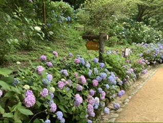 神戸市立森林植物園の紫陽花_c0029332_16202107.jpeg