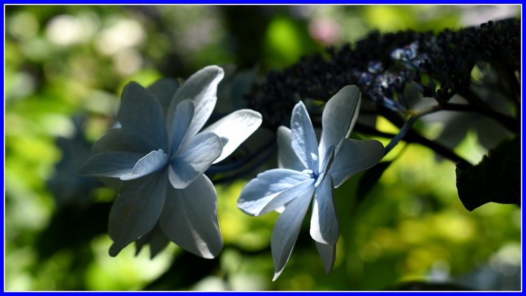 今年の紫陽花 _a0355356_19371768.jpg