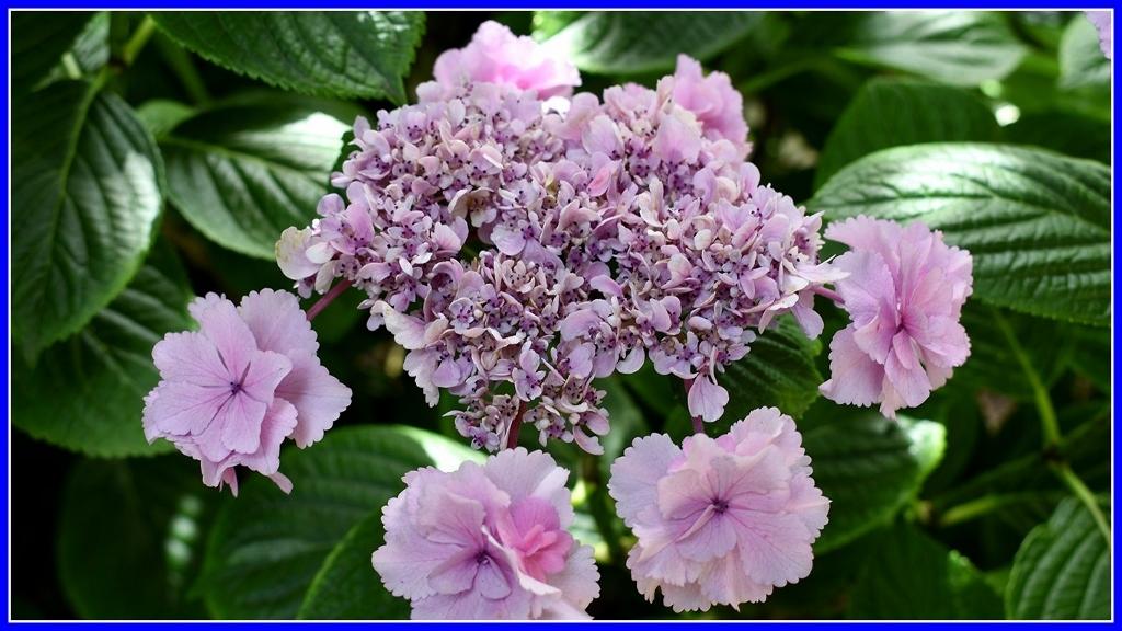 今年の紫陽花 _a0355356_19372850.jpg