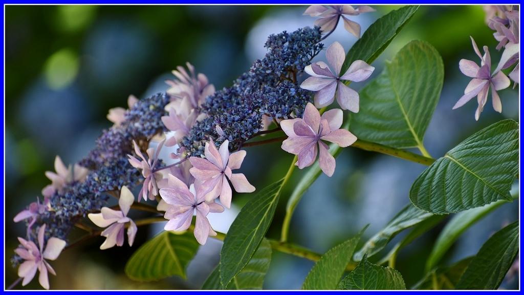 今年の紫陽花 _a0355356_19374896.jpg