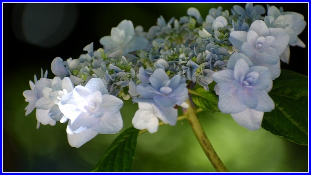 今年の紫陽花 _a0355356_19375884.jpg
