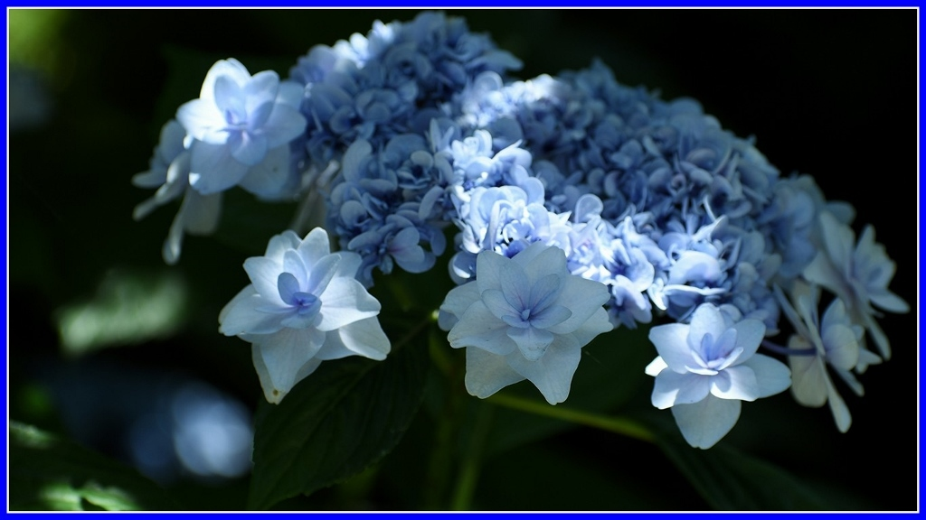 今年の紫陽花 _a0355356_19380905.jpg