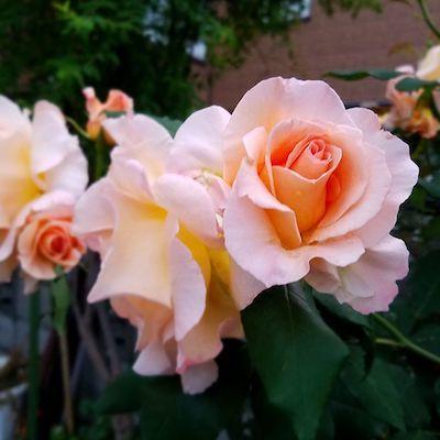 綺麗な色の薔薇が美しく咲いています!<ご近所の花シリーズ>_a0293265_15334918.jpg