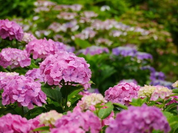 紫陽花とカミキリムシ_a0351368_22082529.jpg