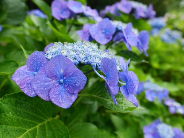 紫陽花とカミキリムシ_a0351368_22094953.jpg