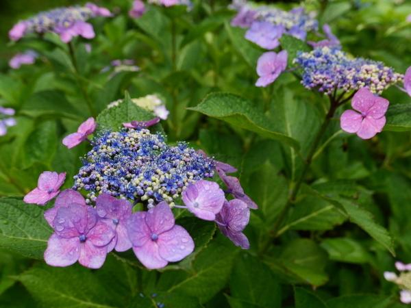 紫陽花とカミキリムシ_a0351368_22103170.jpg