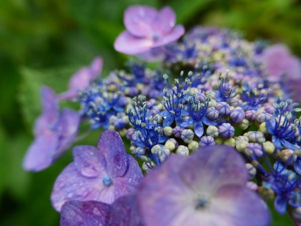 紫陽花とカミキリムシ_a0351368_22104247.jpg