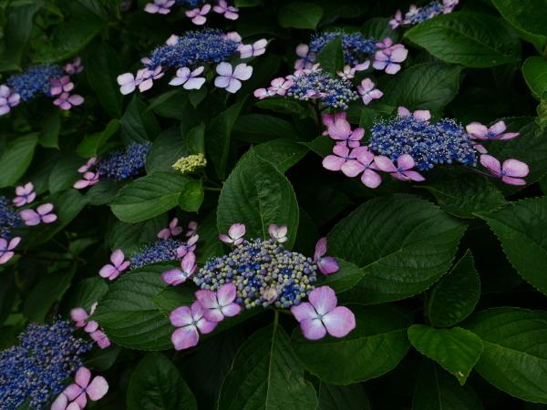 蜂の蜜集め 紫陽花編_a0351368_22242655.jpg
