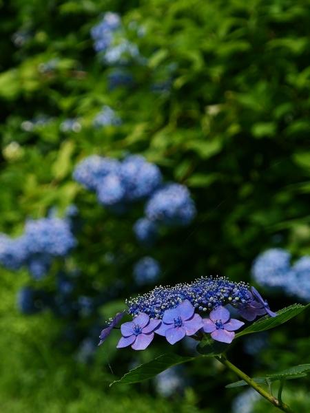 蜂の蜜集め 紫陽花編_a0351368_22245775.jpg