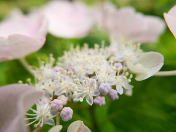 蜂の蜜集め 紫陽花編_a0351368_22260596.jpg
