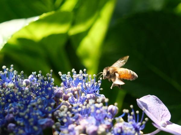 蜂の蜜集め 紫陽花編_a0351368_22264201.jpg