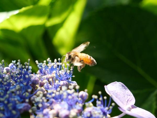 蜂の蜜集め 紫陽花編_a0351368_22270588.jpg