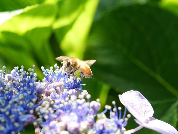 蜂の蜜集め 紫陽花編_a0351368_22271634.jpg
