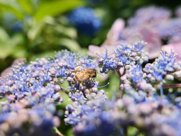 蜂の蜜集め 紫陽花編_a0351368_22293212.jpg