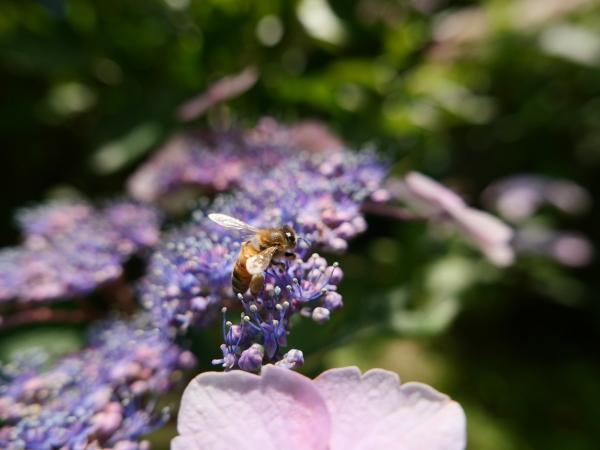 蜂の蜜集め 紫陽花編_a0351368_22301162.jpg