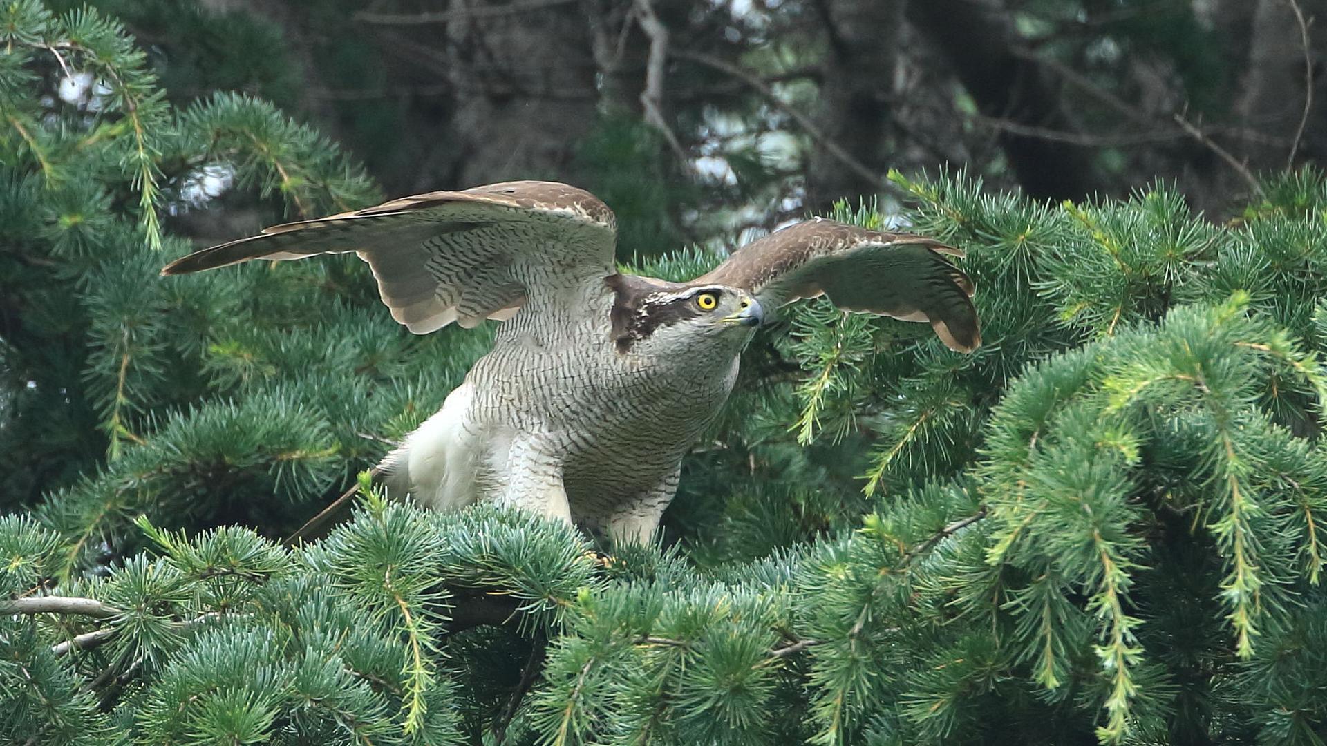 オオタカ雌の飛び出し直前_f0105570_21300045.jpg