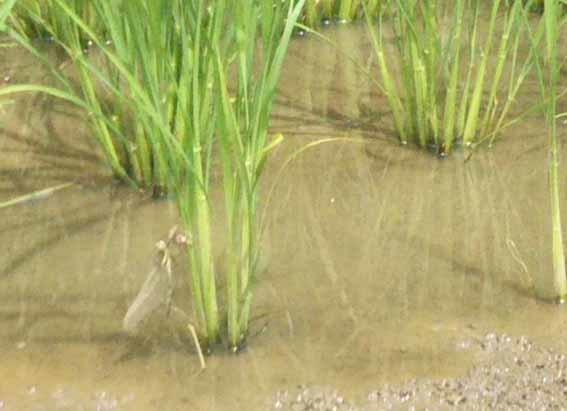 田んぼで、田んぼが羽化しているところ。羽を伸ばして、まだ、色が透明っぽいです。_b0126182_22191107.jpg