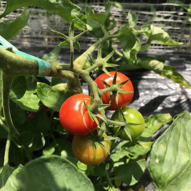 トマトが病気?_f0204295_19313799.jpg