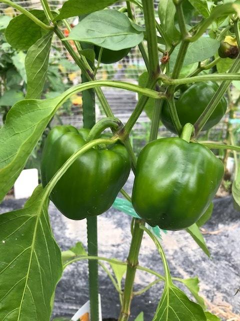 トマトが病気?_f0204295_19411059.jpg