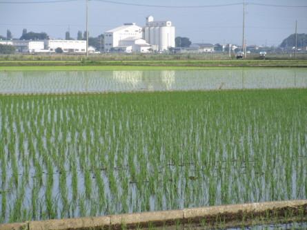 1019)麦畑から水田に。_b0029010_15253721.jpg