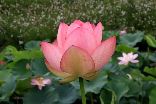 ハスが盛りに 京都府立植物園_e0048413_17570295.jpg