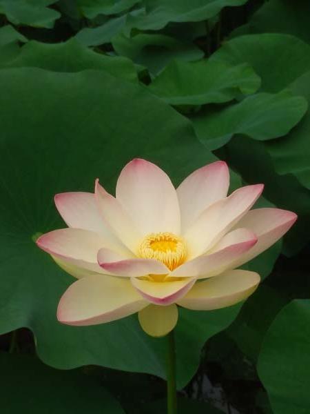 ハスが盛りに 京都府立植物園_e0048413_17571210.jpg