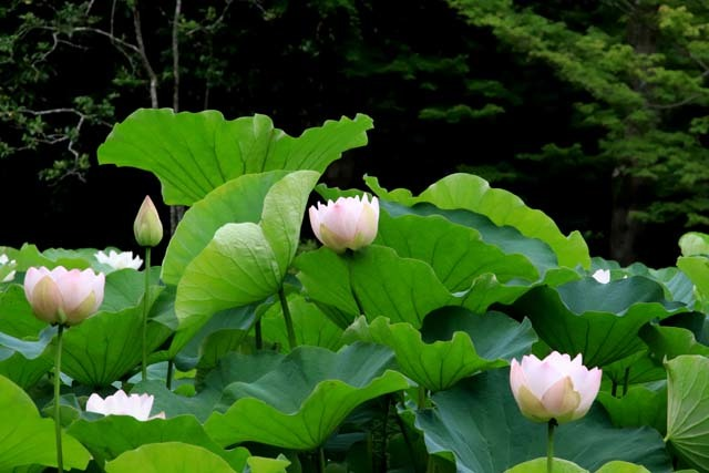 ハスが盛りに 京都府立植物園_e0048413_17574326.jpg
