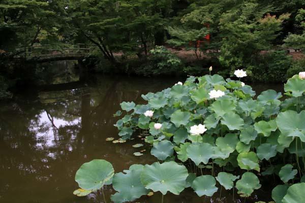 ハスが盛りに 京都府立植物園_e0048413_17580305.jpg