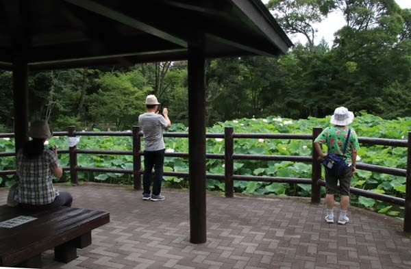 ハスが盛りに 京都府立植物園_e0048413_17580887.jpg