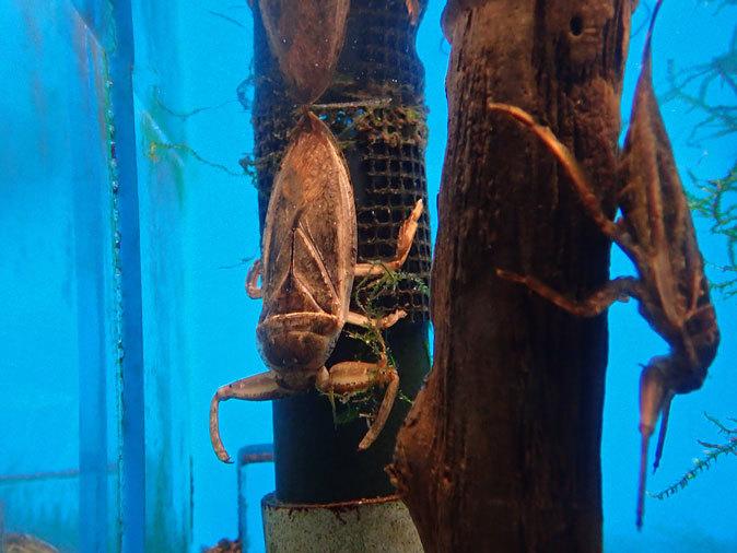 カミツキガメ「ショウゾウ」と隠れ上手のヤマセミ(井の頭自然文化園 July 2019)_b0355317_13083775.jpg