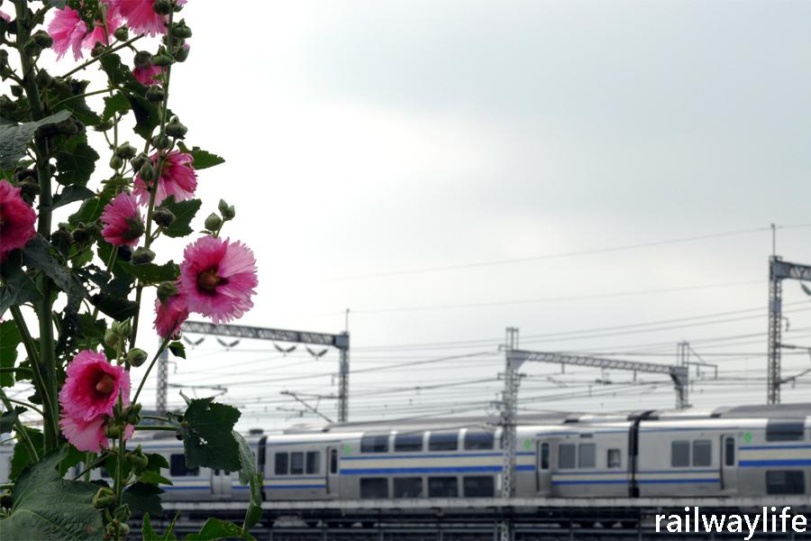 グリーン車からタチアオイ_f0113552_22184961.jpg