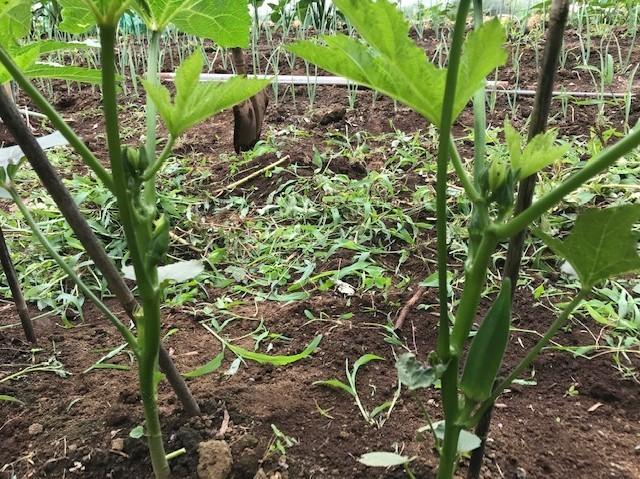 オクラ初収穫、雑草取りで汗まみれ6・27_c0014967_09032241.jpg
